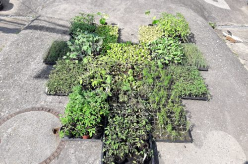 Die Jungpflanzen wollen eingepflanzt werden